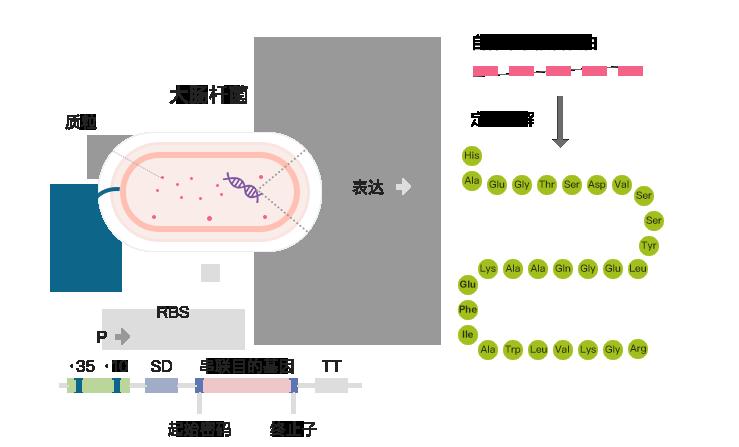 采用特有的酶切技术,酶切特异性强,纯度极高